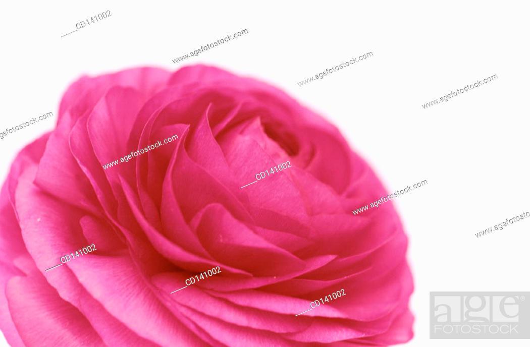 Stock Photo: Buttercup (Ranunculus sp.).