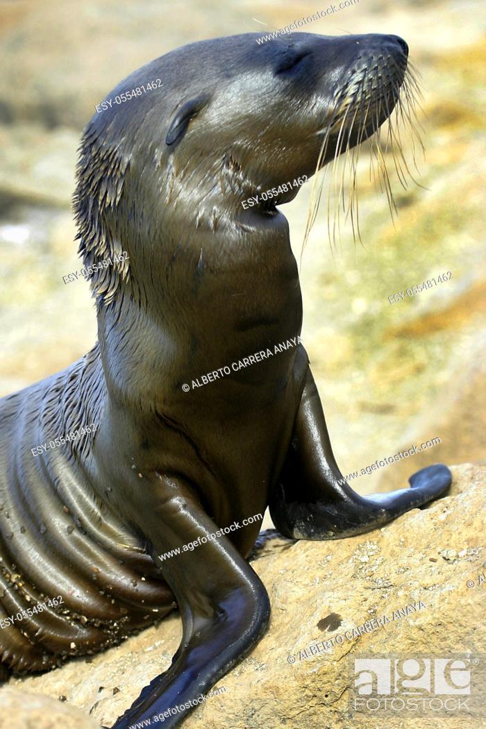 Stock Photo: Galápagos Sea Lion, Zalophus wollebaeki, Galápagos National Park, Galápagos Islands, UNESCO World Heritage Site, Ecuador, America.