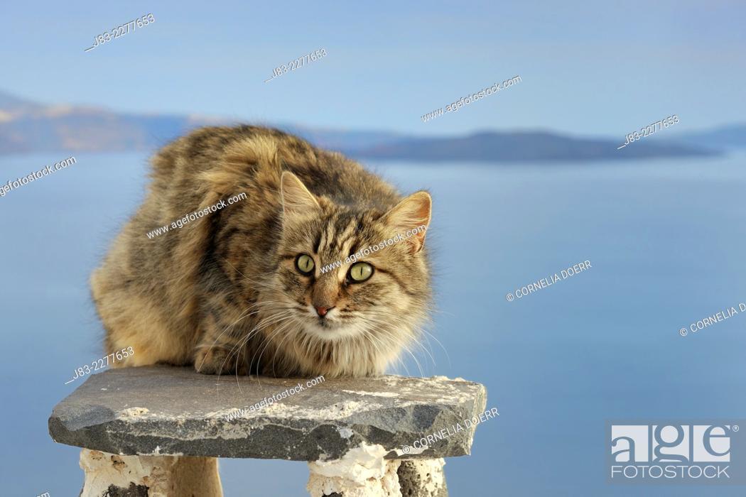 Stock Photo: Tabby Longhair cat sitting on a chimney, Santorini, Greece.