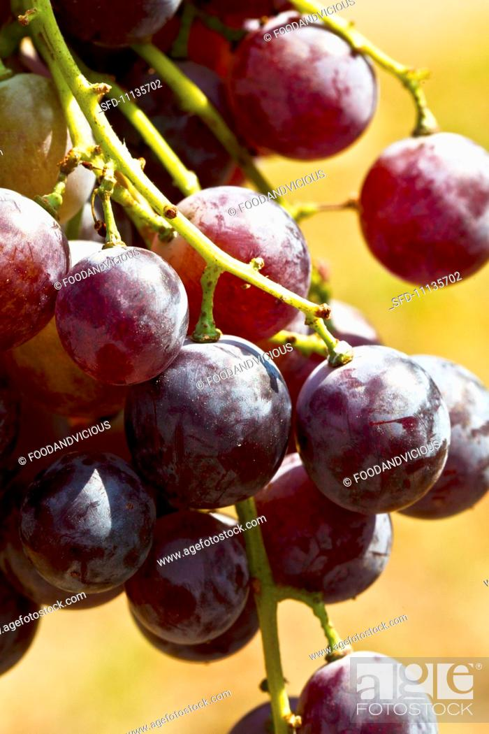 Stock Photo: Red Merlot grapes.