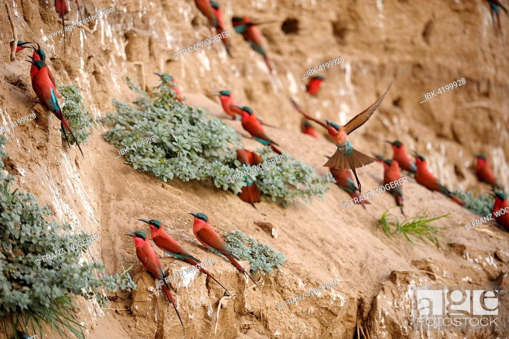 Stock Photo: Southern Carmine Bee-eaters (Merops nubicoides), at the breeding wall, steep shore on the Luangwa river, South Luangwa National Park, Zambia.