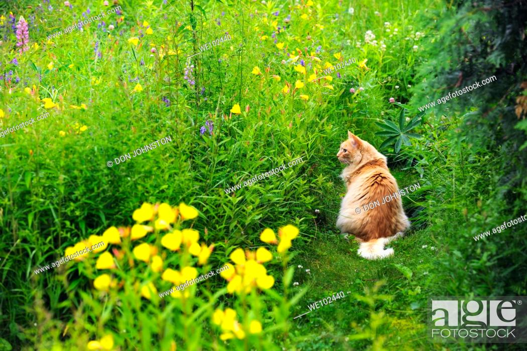 Stock Photo: Evening primrose colony and housecat in naturalized garden.