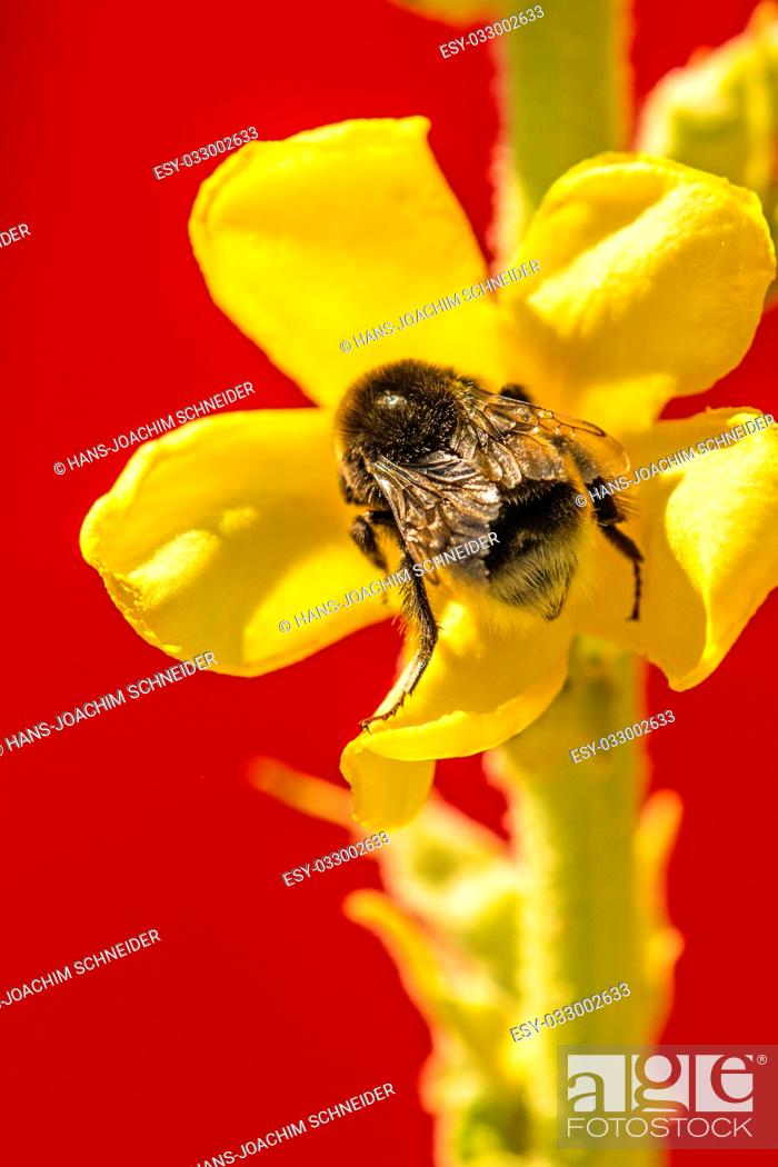 Stock Photo: Great mullein medicinal plant with flower and humble-bee in Germany.
