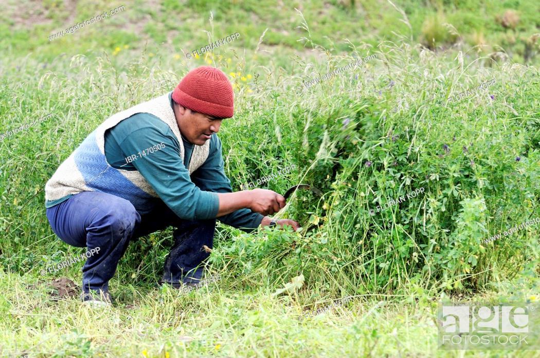 Stock Photo: Harvest of alfalfa (Medicago sativa), forage crop, Altiplano Bolivian highland, Oruro Department, Bolivia, South America.