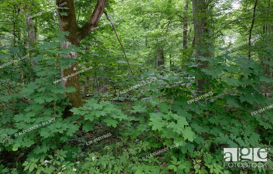 Stock Photo: Summertime deciduous stand with old trees in background and jyvenile maples in foreground, Bialowieza Forest, Poland, Europe.