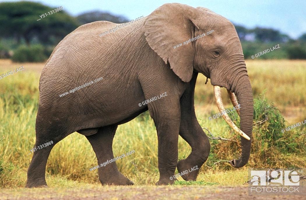 Stock Photo: AFRICAN ELEPHANT loxodonta africana, ADULT MALE, KENYA.
