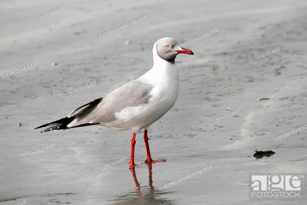 Stock Photo: Grey-headed Gull Larus cirrocephalus, standing on beach, The Gambia, Africa.