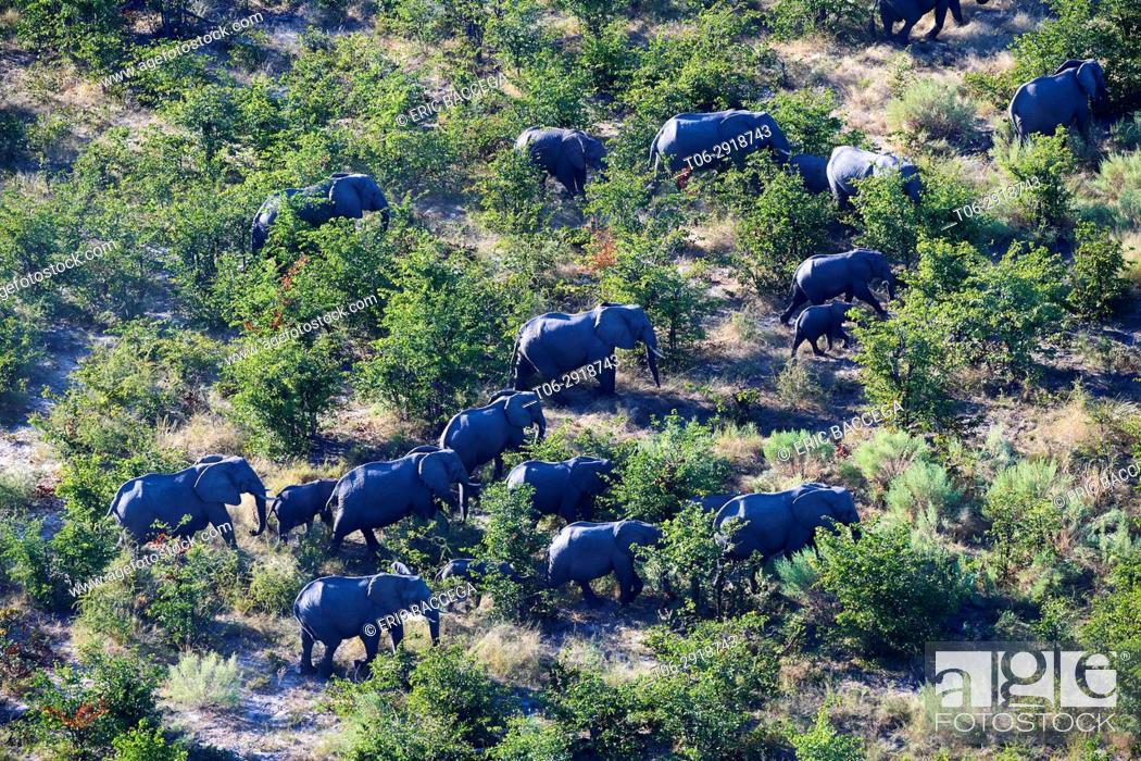 Stock Photo: Aerial view of herd of African elephants (Loxodonta africana) walking on dry land, Okavango delta, Botswana, Africa.
