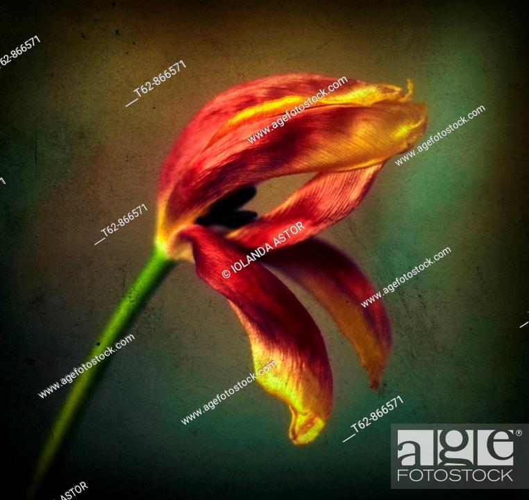 Stock Photo: Close-up of tulips  Still Life  Color.