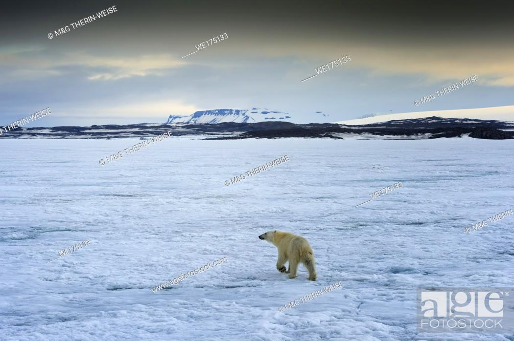 Photo de stock: Polar Bear (Ursus maritimus) walking over pack ice, Svalbard Archipelago, Norway.