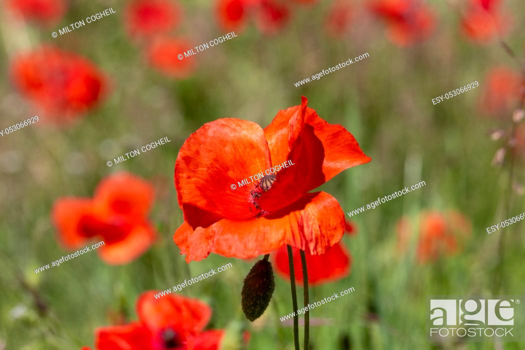 Stock Photo: Close up of Poppy flowers (papaver rhoeas) in a field.