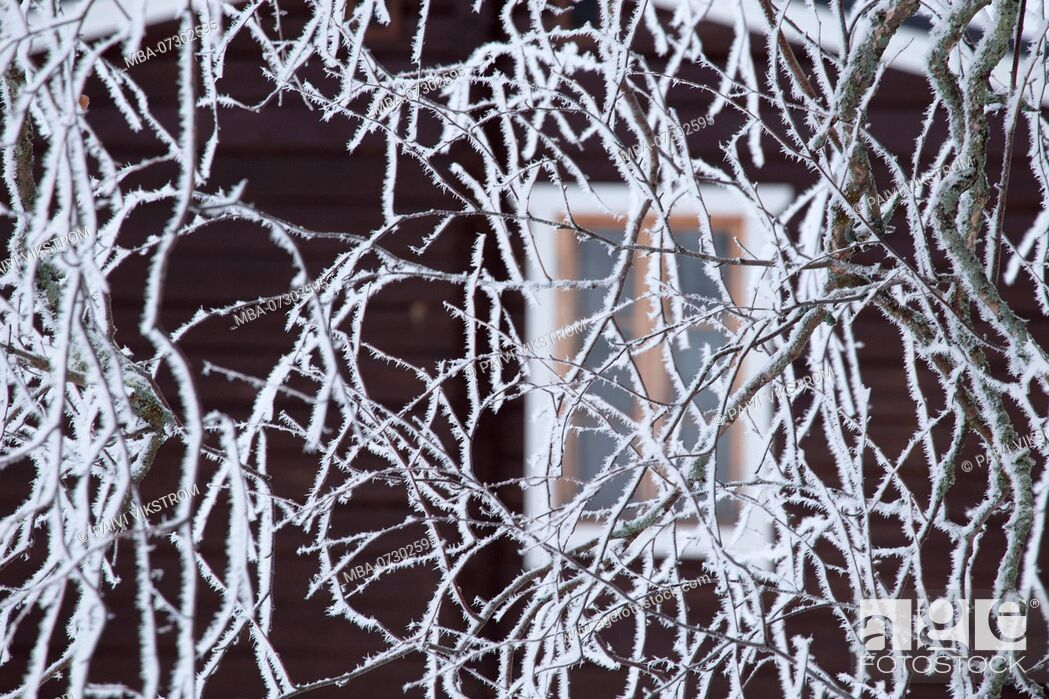 Stock Photo: Frozen birch branches covered with white hoarfrost, blurred cottage wall with window background.