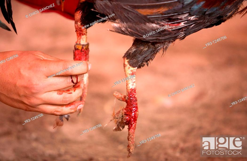 Stock Photo: A rooster's owner adjust the blade on the bloody foot of his bird during a cockfight on the outskirts of Mexico City. Cockfighting originated in India, China.