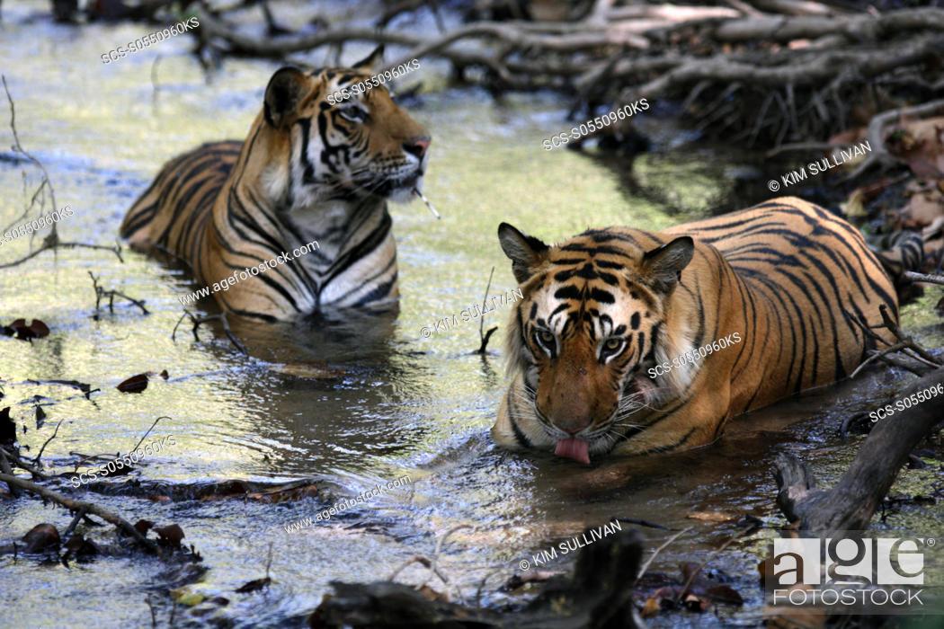Stock Photo: Bengal Tigers Panthera tigris tigris, wild adult males, critically endangered Bandhavgarh Tiger Reserve, India.