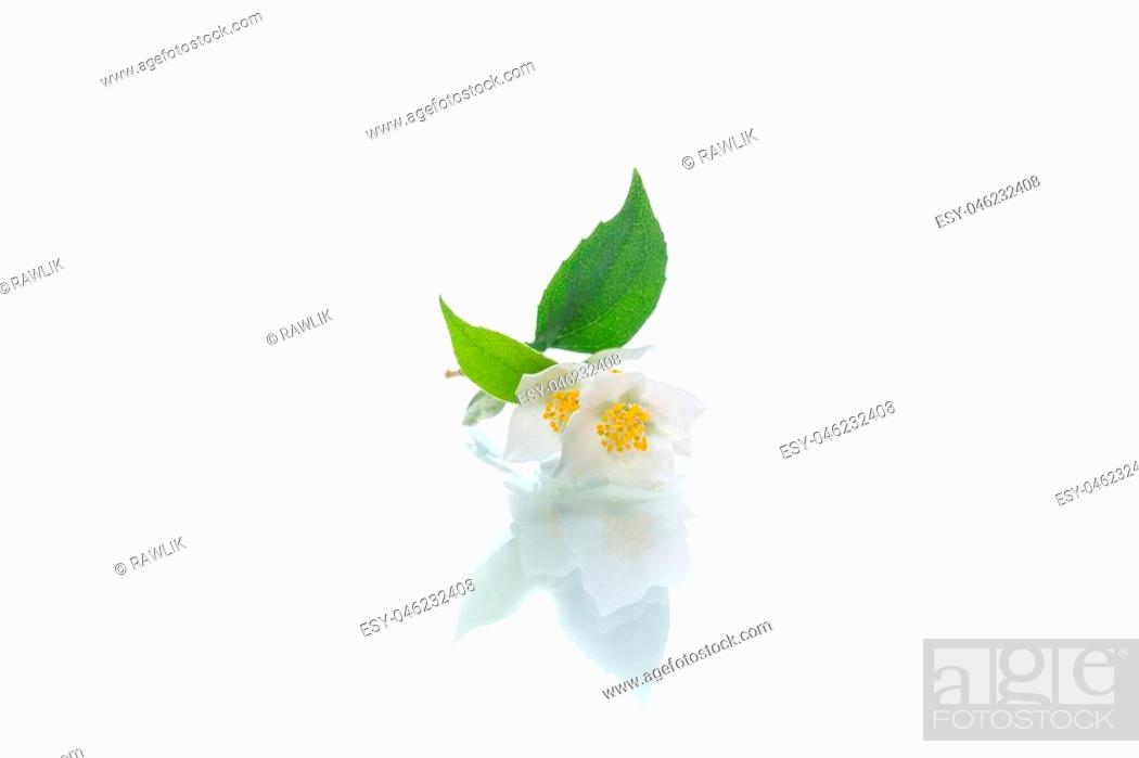 Stock Photo: blossoming jasmine flowers on a white background.