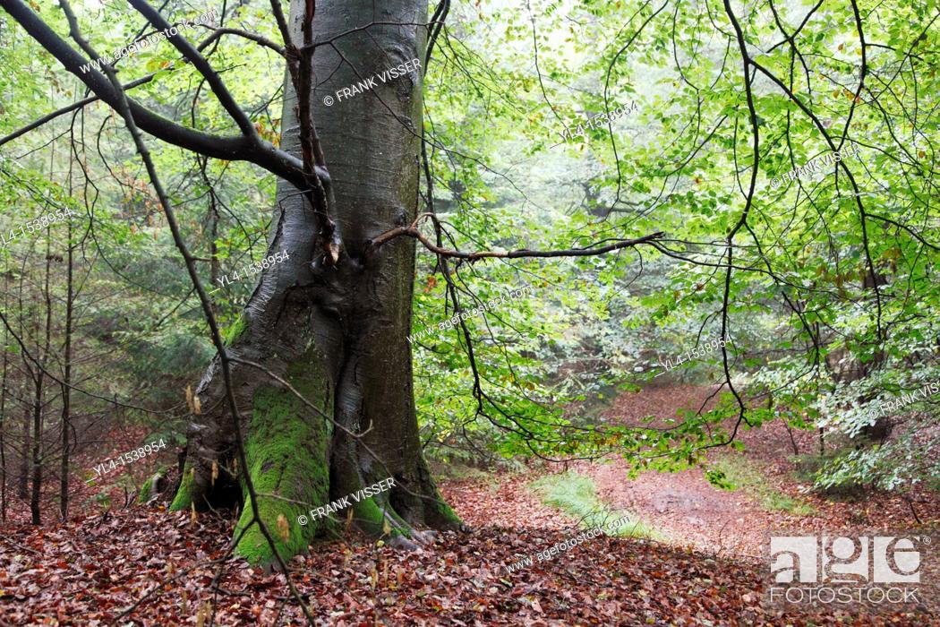 Stock Photo: Trunk of old beech tree in forest. The Netherlands.