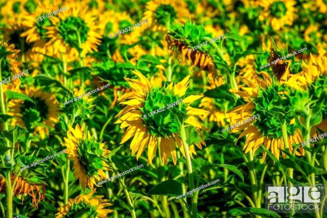 Stock Photo: Field of giant sunflowers on a sunny summer day in France.