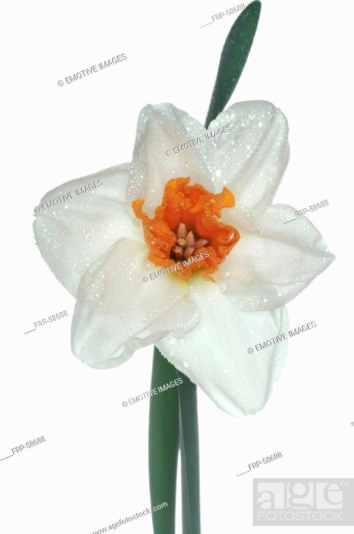 Stock Photo: filled daffodil.