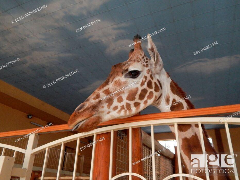 Stock Photo: Giraffe indoor head and foot details.