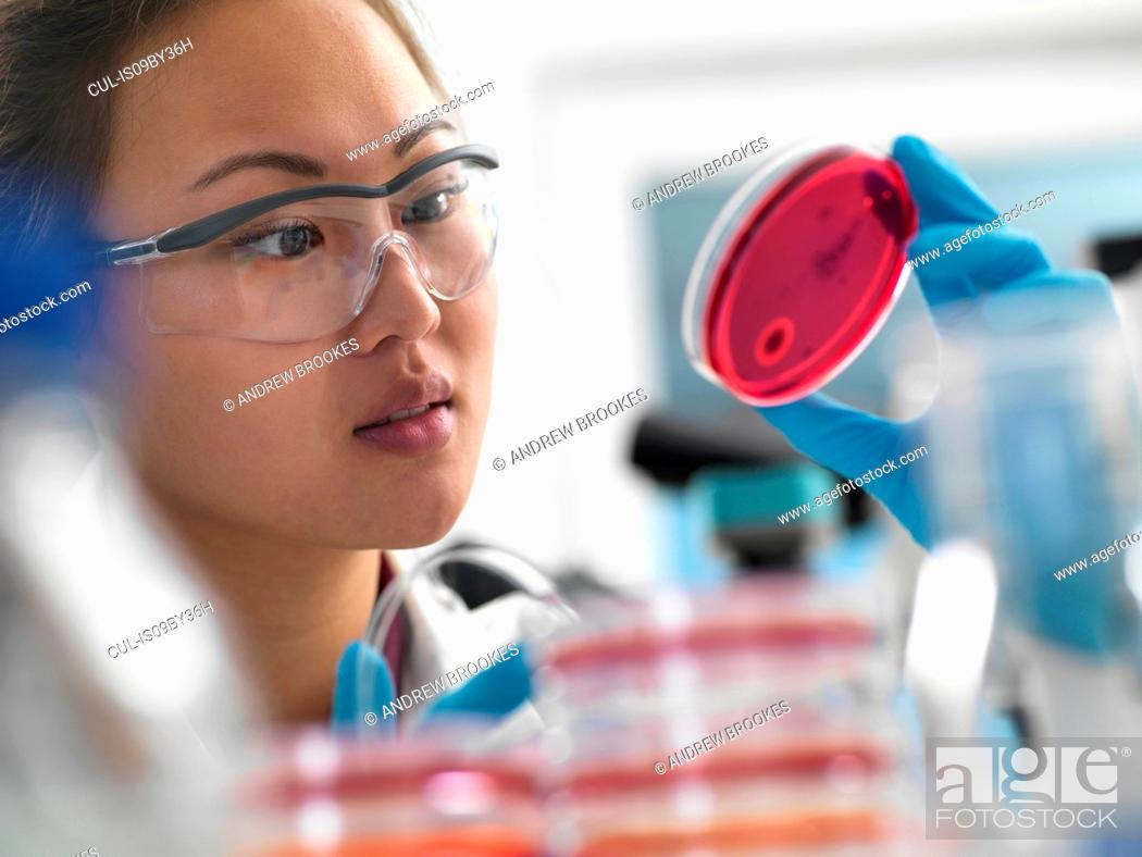 Stock Photo: Scientist examining microbiological cultures in petri dishes in laboratory.