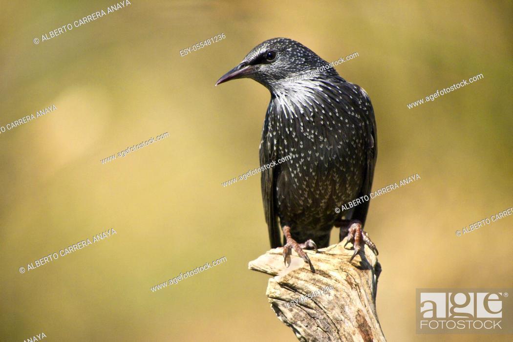 Imagen: Starling, Sturnus vulgaris, Monfragüe National Park, SPA, ZEPA, Biosphere Reserve, Cáceres Province, Extremadura, Spain, Europe.