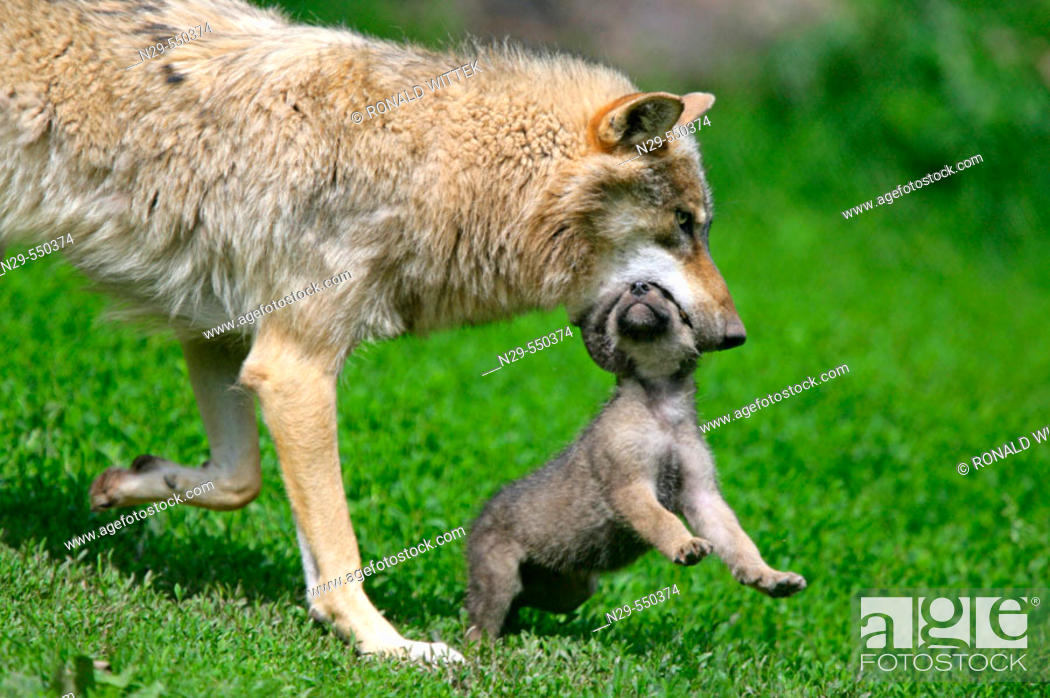 Stock Photo: Wolf (Canis lupus), cub. Germany.