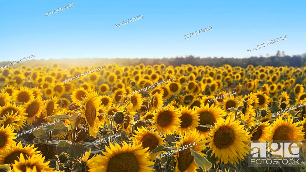 Stock Photo: Sunflowers in the Field Shined by the Sun.
