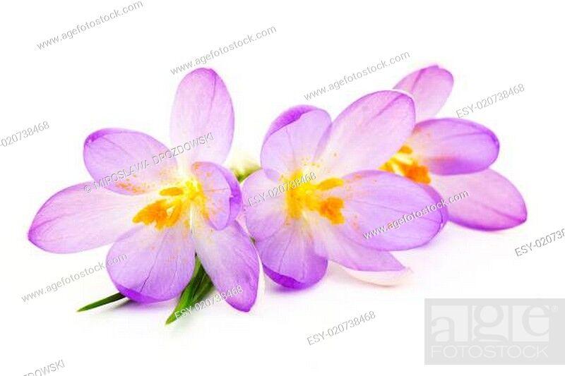 Stock Photo: crocus on white background - fresh spring flowers.
