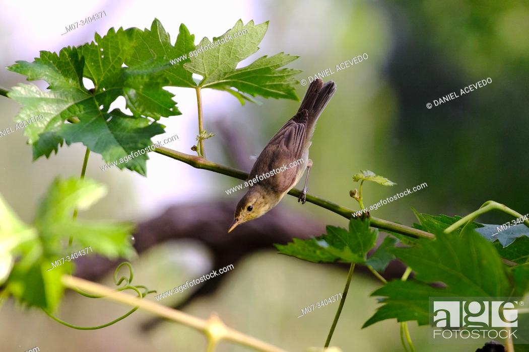 Imagen: melodious warbler (Hippolais polyglotta) La Rioja, Spain.