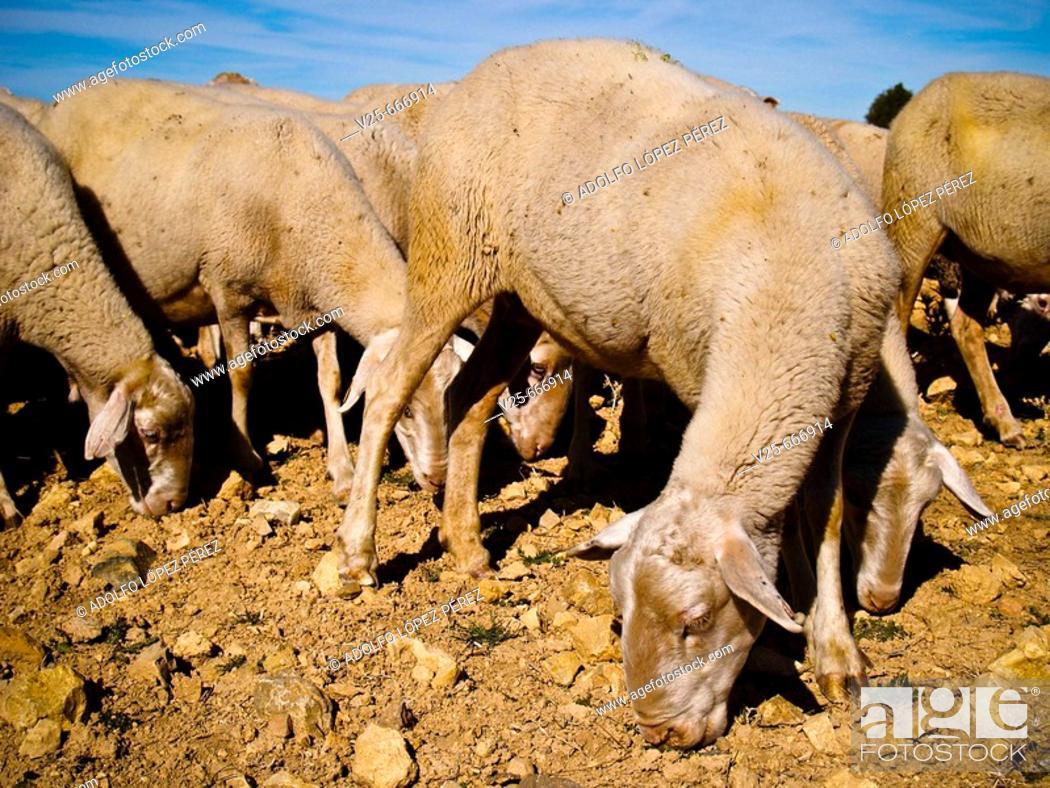 Stock Photo: Sheep grazing. Teruel province. Spain.