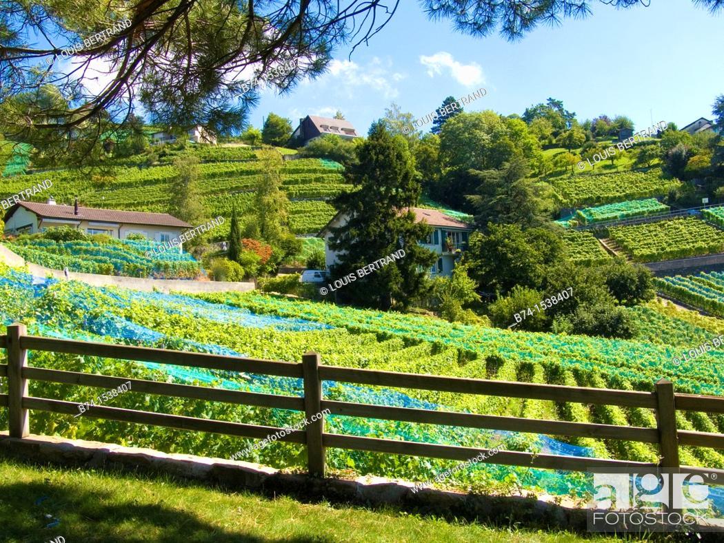 Stock Photo: terrace of lavaux,valais,swiss.