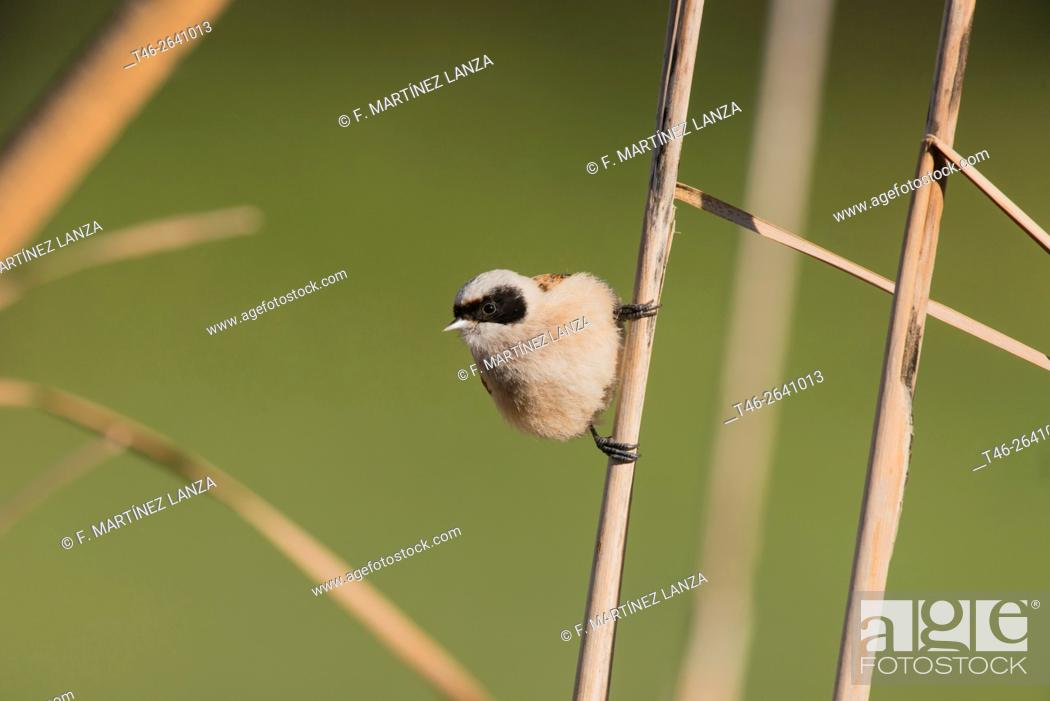 Stock Photo: Eurasian penduline tit (Remiz pendulinus). Photographed at Madrid Leganes Polvoranca Park.
