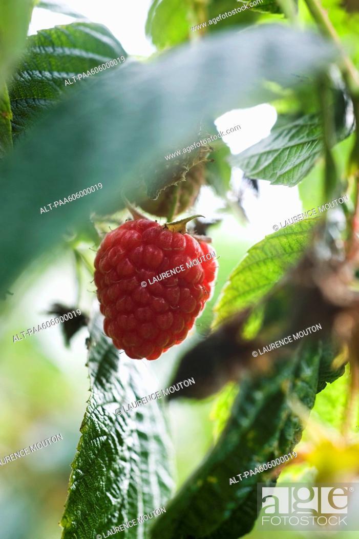 Stock Photo: Raspberry growing on bush.