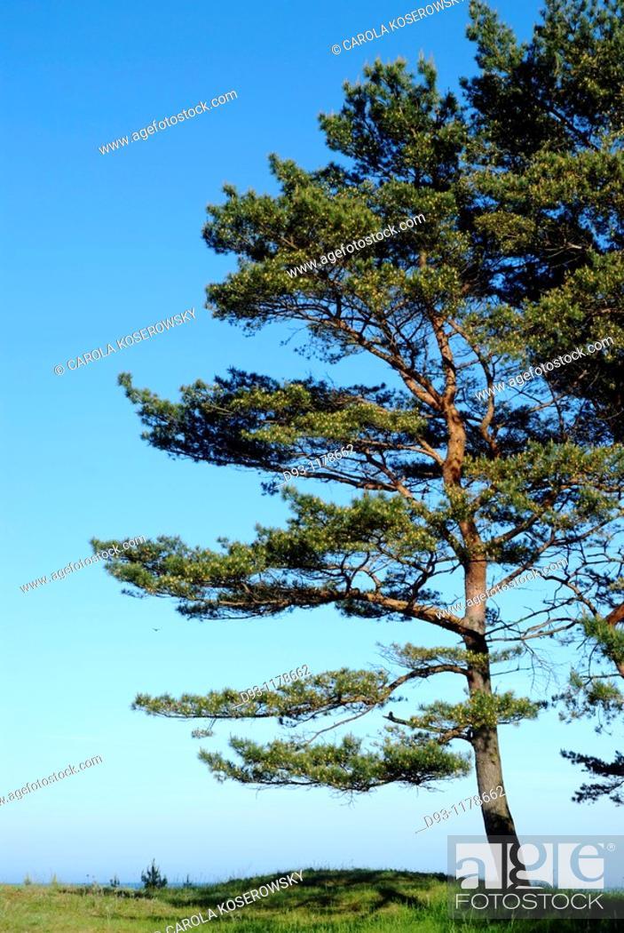 Stock Photo: Pine Tree.