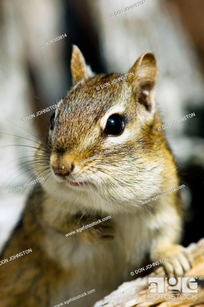 Stock Photo: Eastern chipmunk, (Tamias striatus). Gathering seeds in cheek pouches.