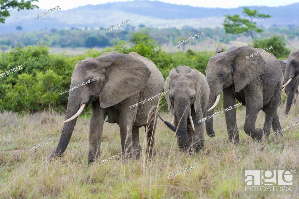 Stock Photo: African Elephant (Loxodonta africana), Tanzania, East Africa.