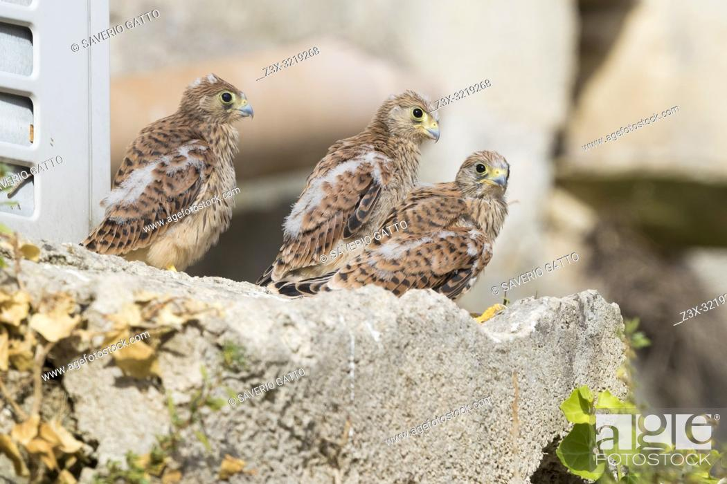 Stock Photo: Lesser Kestrel (Falco naumanni), three chicks out of the nest in Matera.