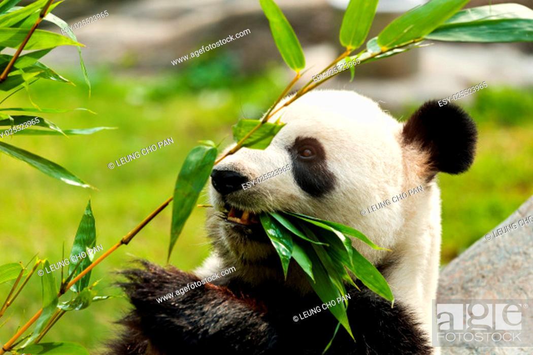 Stock Photo: Hungry giant panda bear eating bamboo.