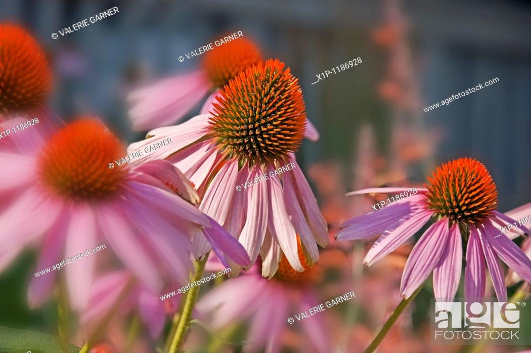 Photo de stock: This image is Echinacea Pallida, commonly known as pink coneflower a beautiful summer perennial garden plant and herb Background intentionally blurred for.