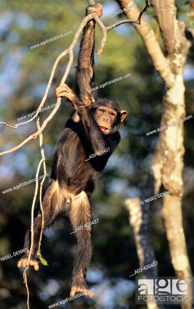 Stock Photo: Chimpanzee, Pan troglodytes, Chimfunshi, Zambia.