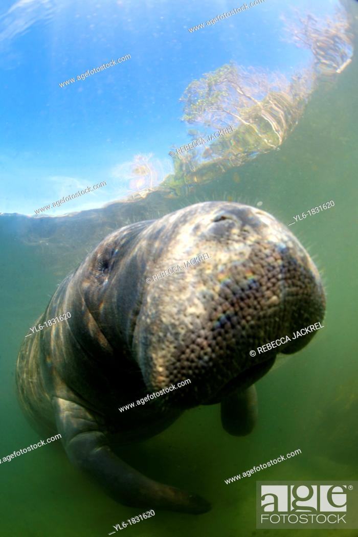 Stock Photo: West Indian Manatee: Filmed on location at Crystal River National Wildlife Refuge, Crystal River, Florida courtesy of the U S  Fish and Wildlife Service.
