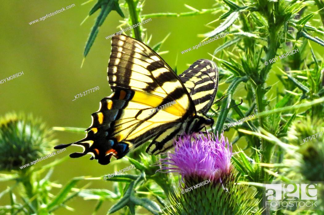 Imagen: Eastern tiger swallowtail on thistle flower.