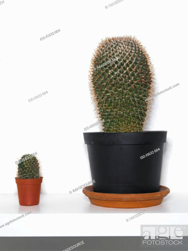 Stock Photo: Cacti on shelf.