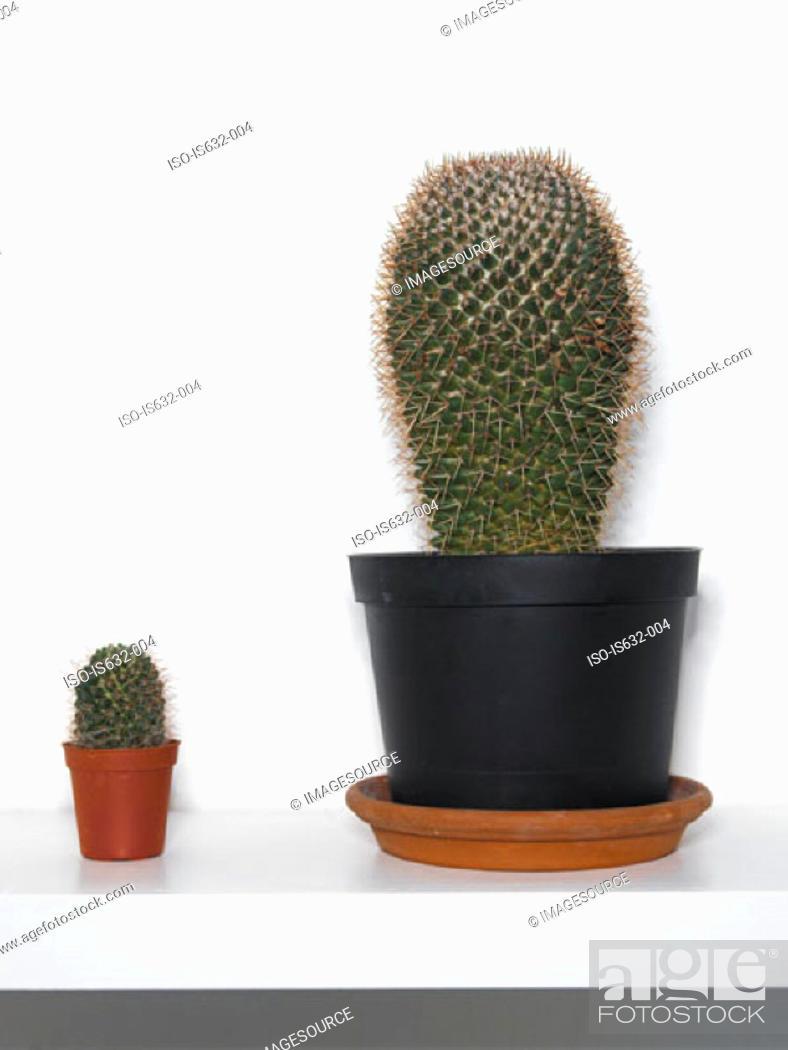Stock Photo: Cacti on shelf.
