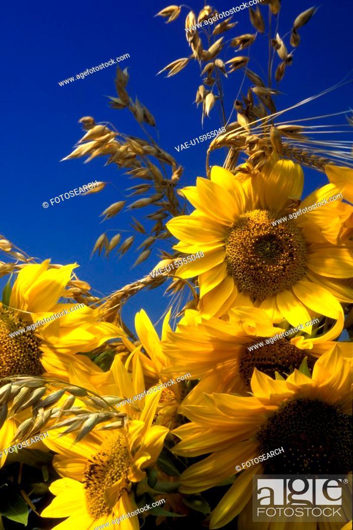 Stock Photo: blue, Bernhard, blossom, blooms, bloom, abloom.