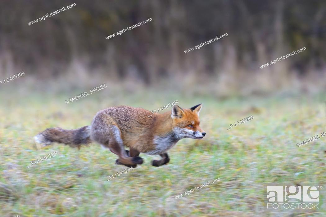 Stock Photo: Running red fox (Vulpes vulpes) on meadow, Hesse, Germany, Europe.