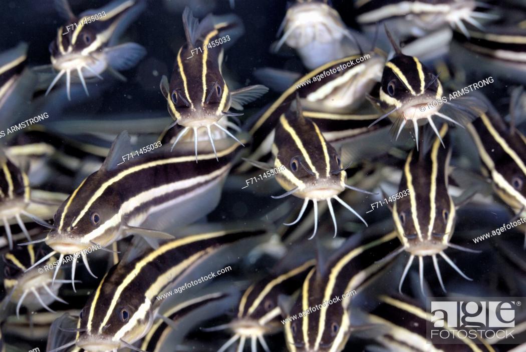 Stock Photo: Striped catfish Plotosus lineatus  Lembeh Strait, Celebes Sea, North Sulawesi, Indonesia.