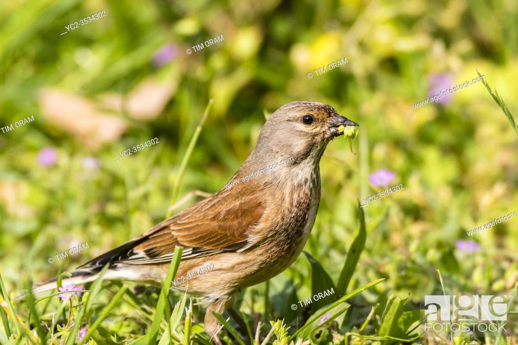 Stock Photo: A male Linnet (Carduelis cannabina) in the Uk.
