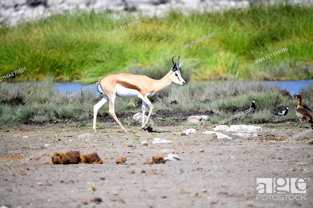 Stock Photo: Springbok (Antidorcas marsupialis) in the Namibian Etosha National Park runs past a water hole. This antelope species is distributed exclusively throughout.