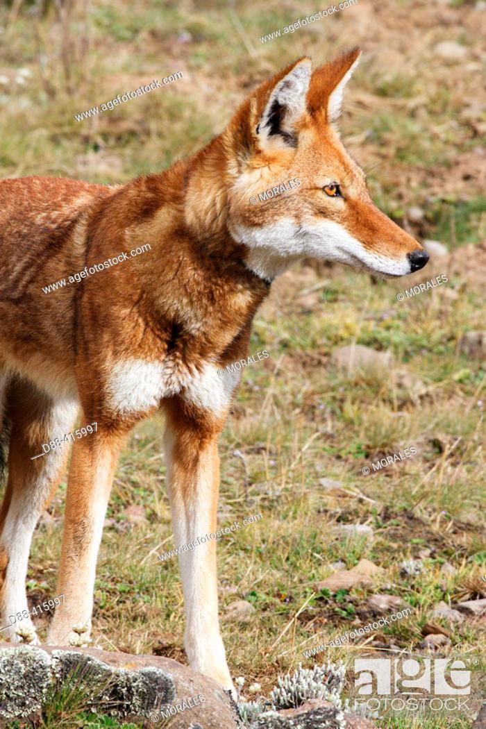 Stock Photo: Simien Jackal (Canis simensis), Bale mountains (4000-4300 m.). Ethiopia.